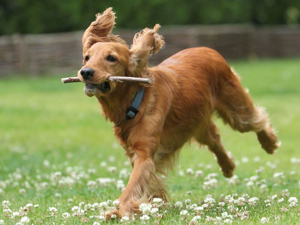 A cocker spaniel properly trained to catch a toy