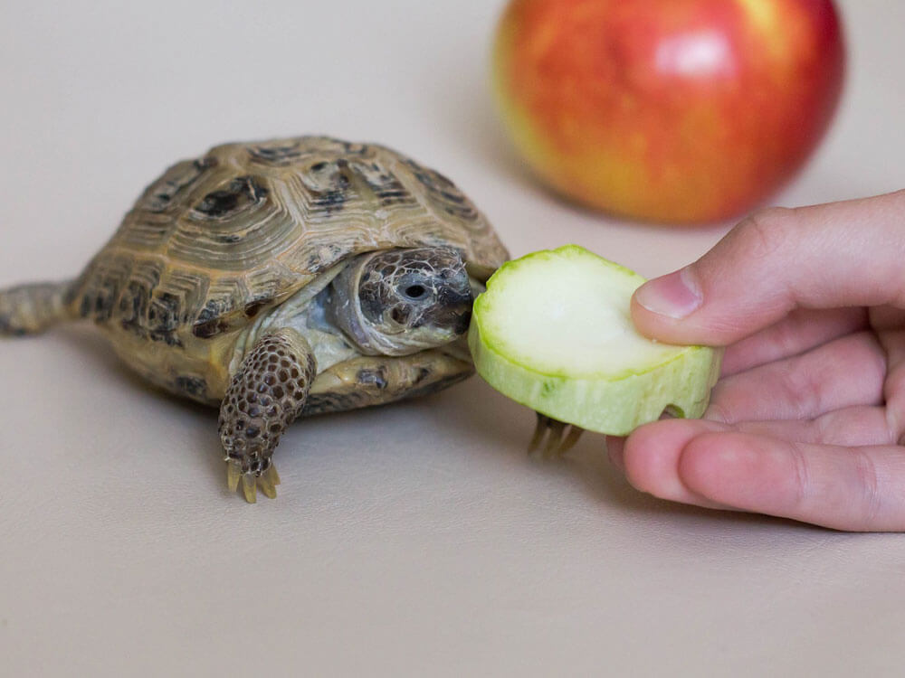 A turtle eating a healthy vegetable