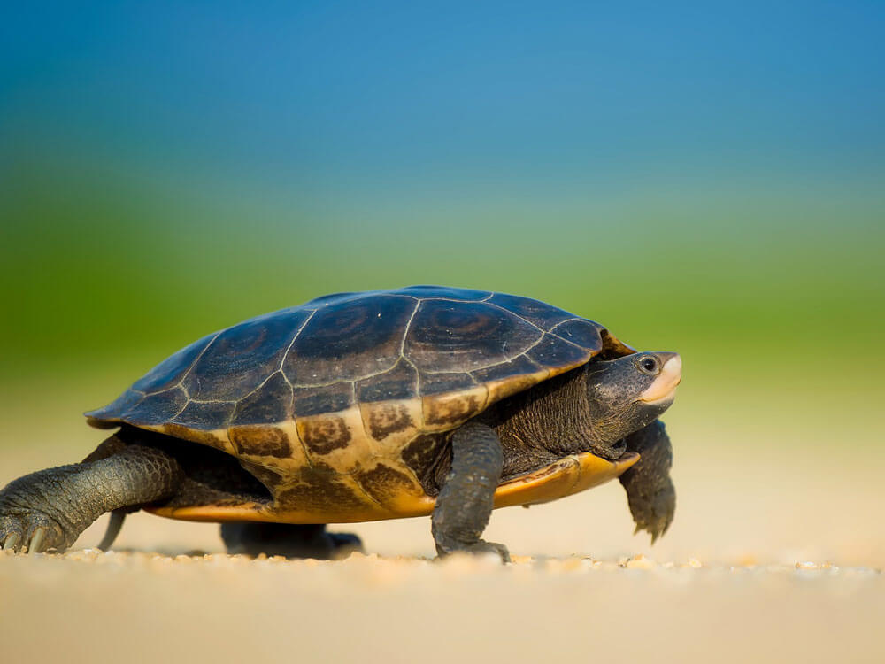 A must-know things before getting a turtle pet