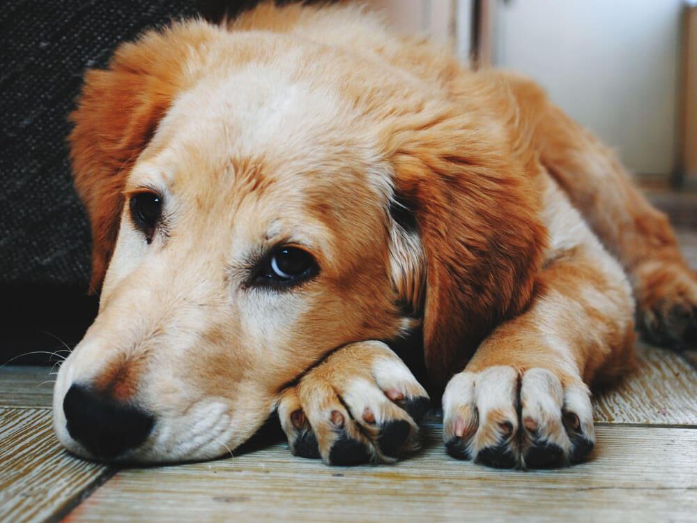 a weak dog having pneumonia due to cough