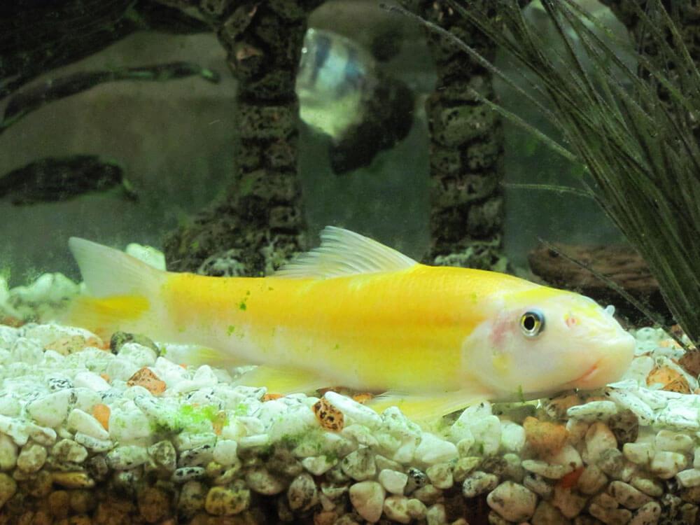 Chinese algae eater fish helps to prevent algae in the aquarium