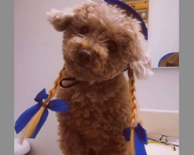 this little Toy Poodle looks so adorable in a cowgirl costume