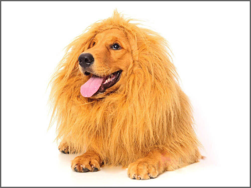 a dog wearing a realistic lion mane wig costume
