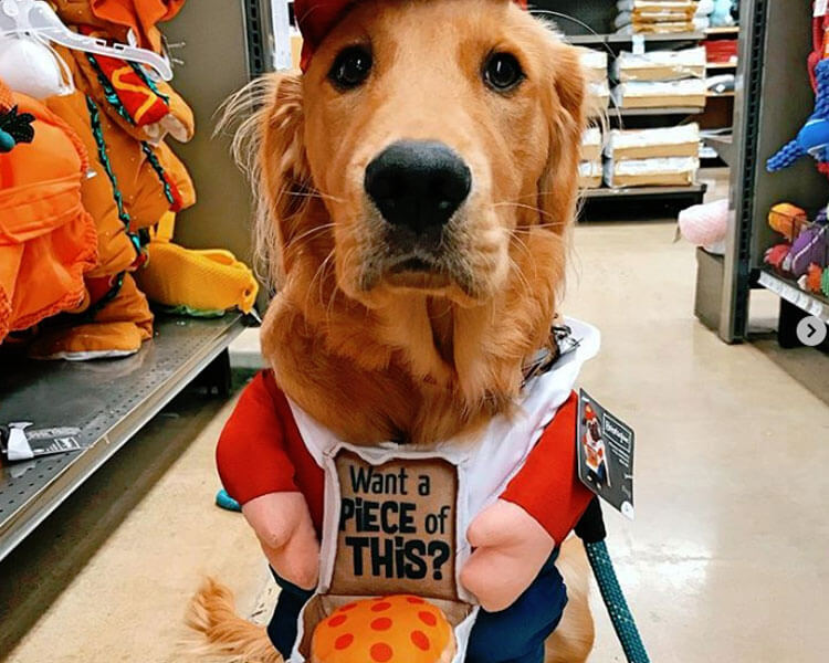 a dog as a pizza deliveryman costume for Halloween