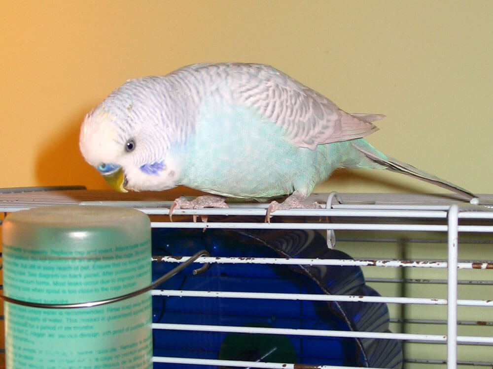 a budgie with water in a cage