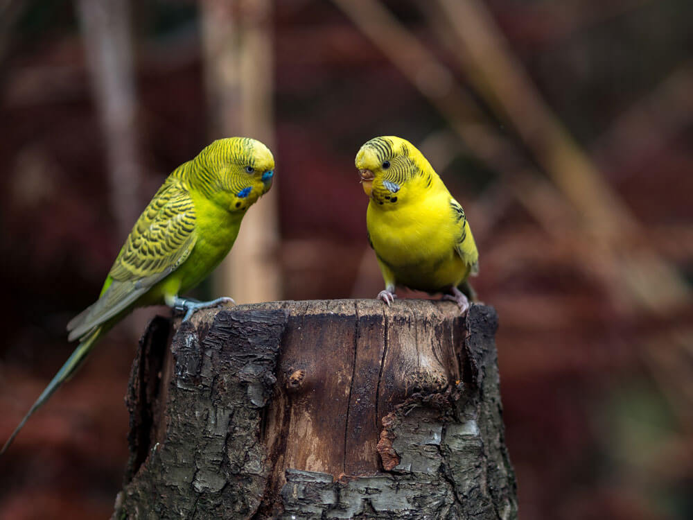 a pair of budgies in a tree stump