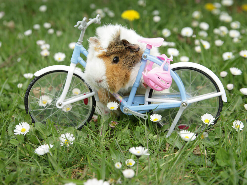 an abyssinian guinea pig in a bike toy