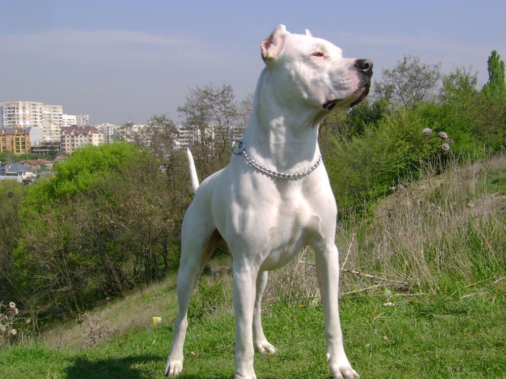 white Alano Español Bulldog in the hill