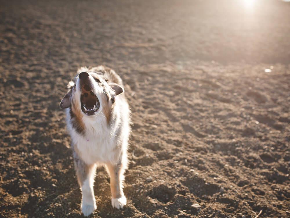 an agressive dog barking at the beach