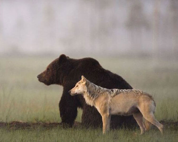 a Bear and Wolf, standing side-by-side