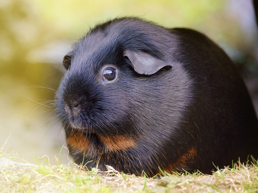 a black guinea pig that were considered important in treating illnesses