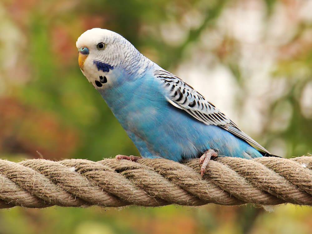 a blue budgie in a rope perch