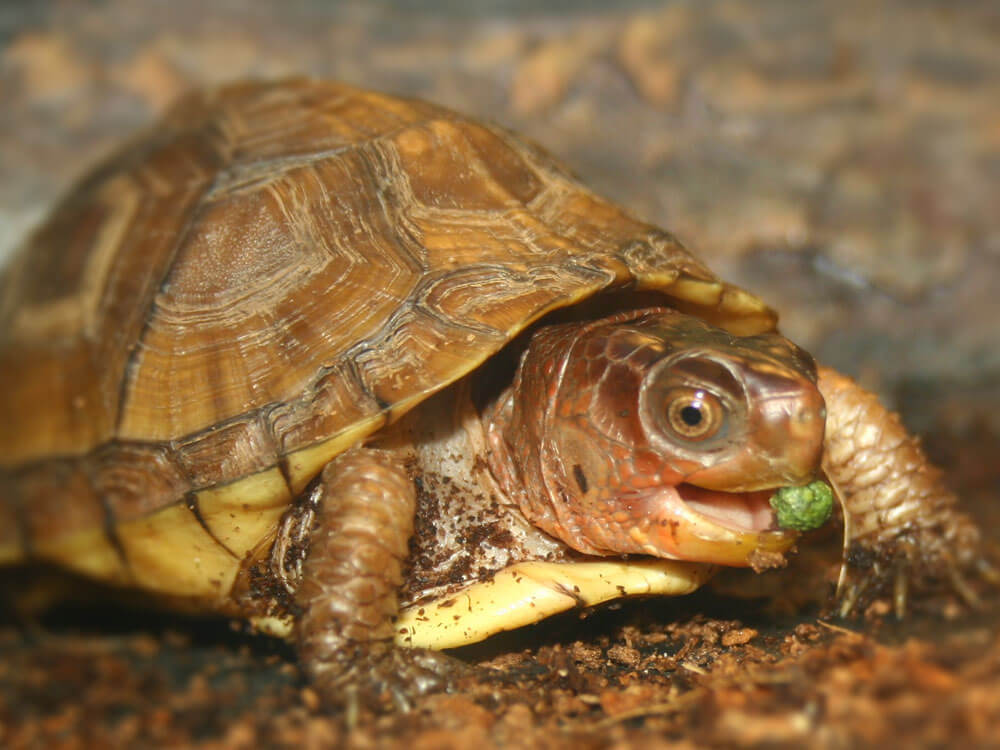 a box turtle eating