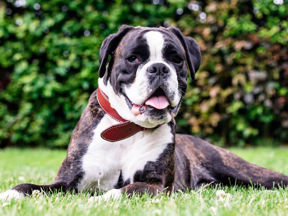 a Boxer Bulldog sitting on the grass