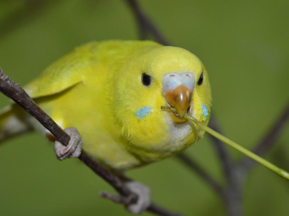a budgie chewing a small tree branch
