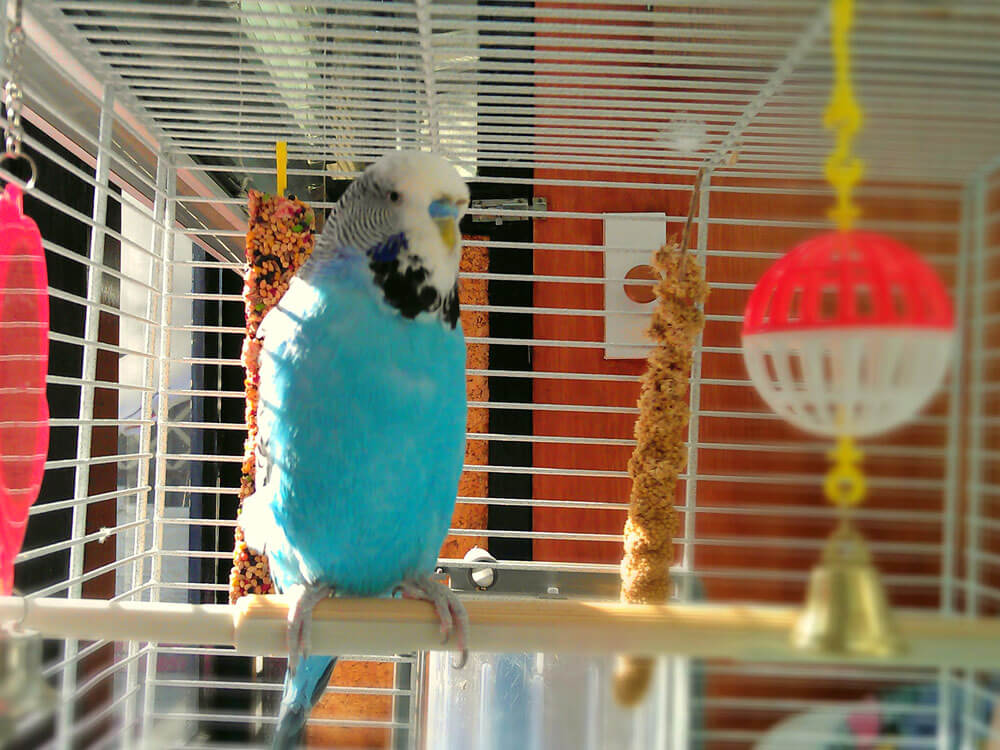 a budgie in a perch