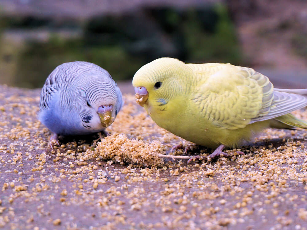 two budgies eating