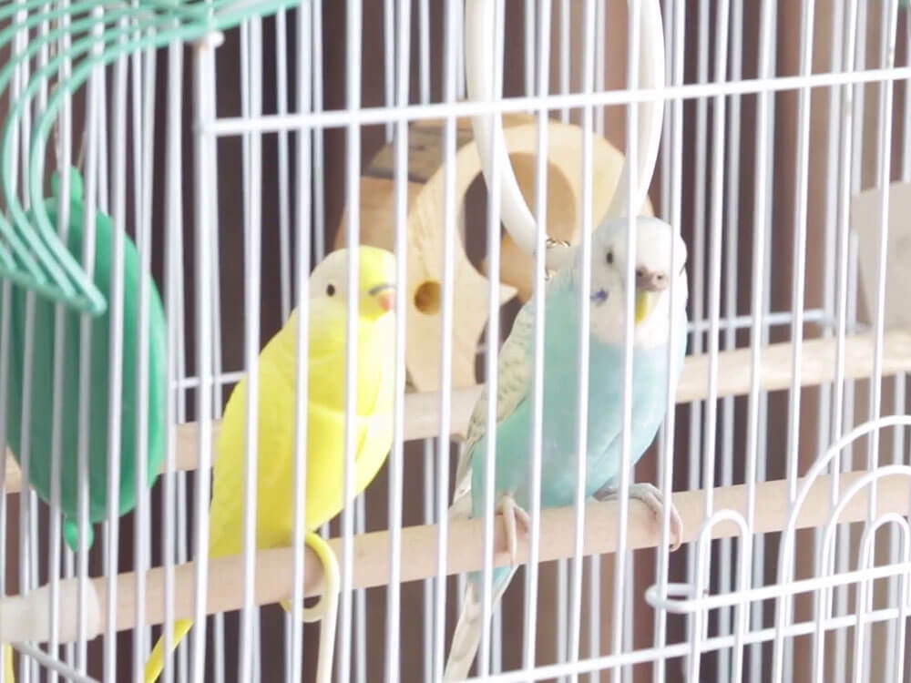 two budgies inside the cage