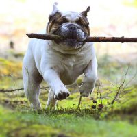 Bulldog Breeds Guide 101