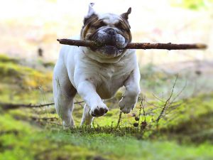 Bulldog Breeds Guide 101