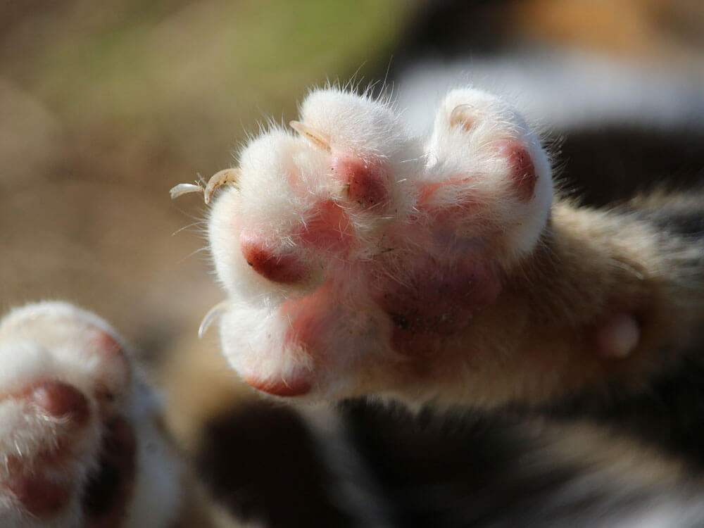 a cat's paw with longer nails