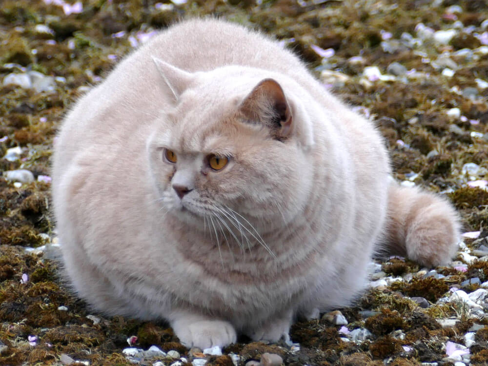 a fat cat sitting on the ground