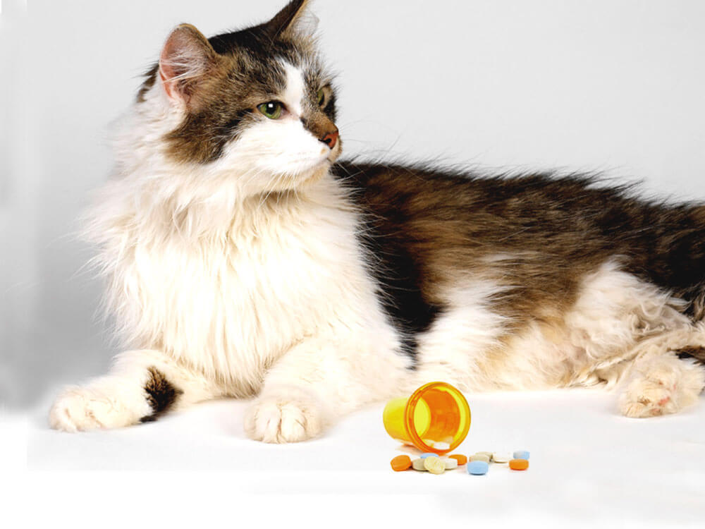 a cat with an oral flea medication