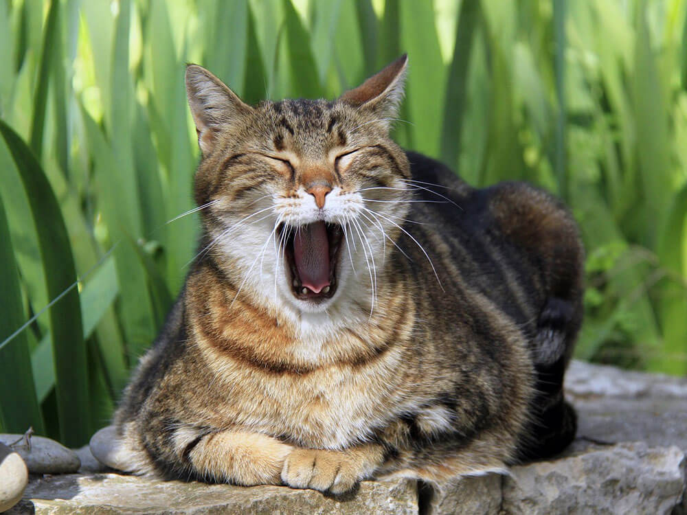 cat yawns with bad breath