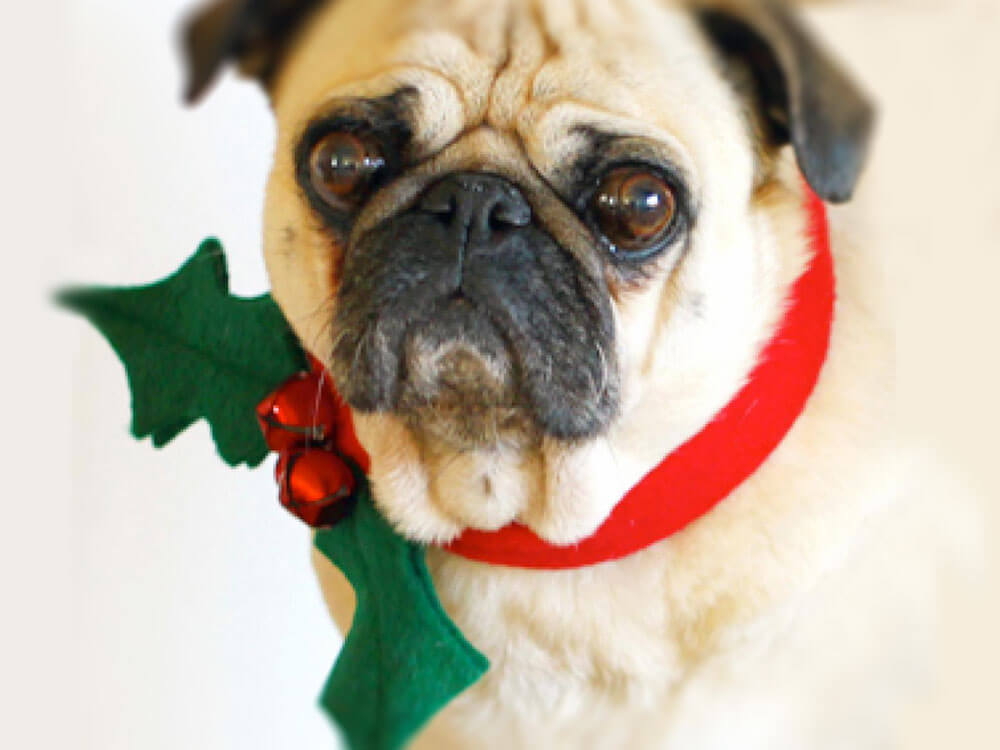 a pug wearing a christmas dog collar