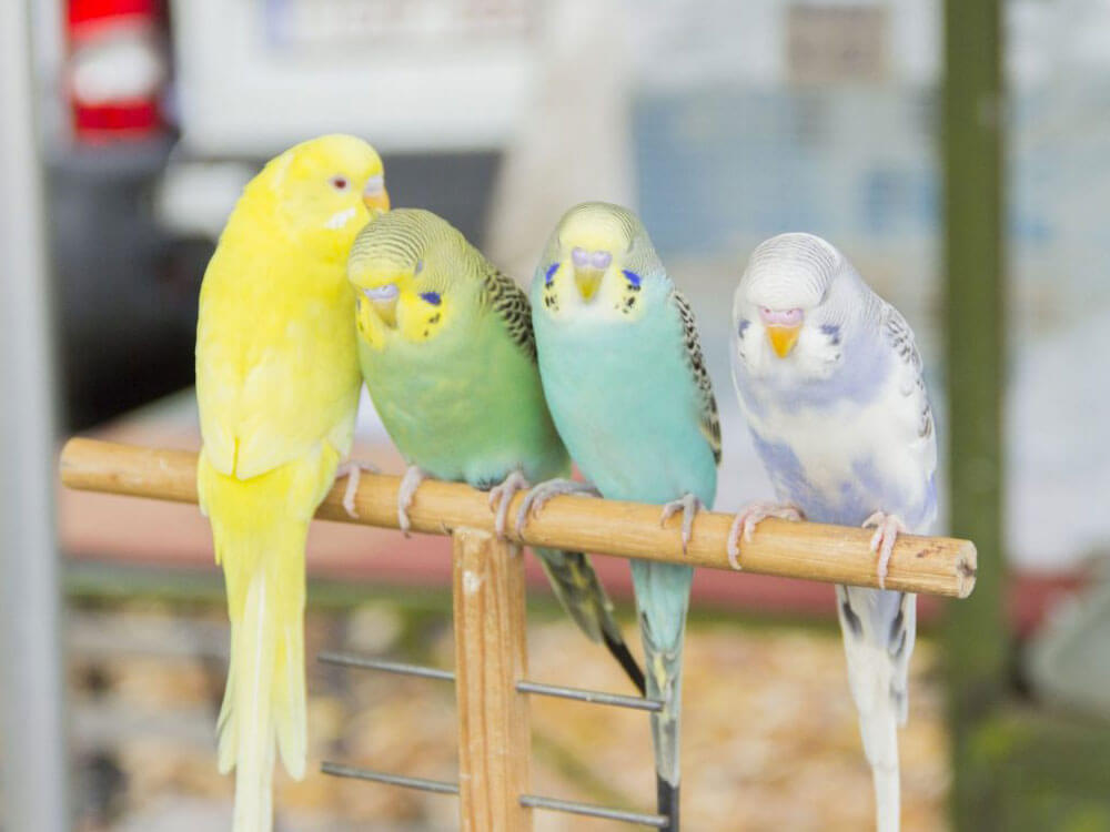 different colors of budgies in perches