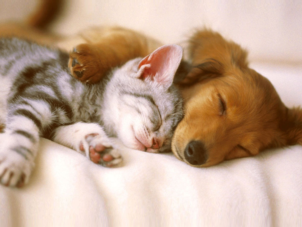 dog and cat sleeping together in bed
