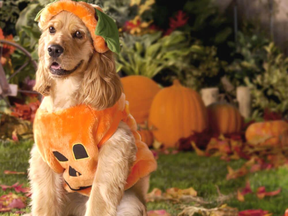 a dog wearing a Halloween costume