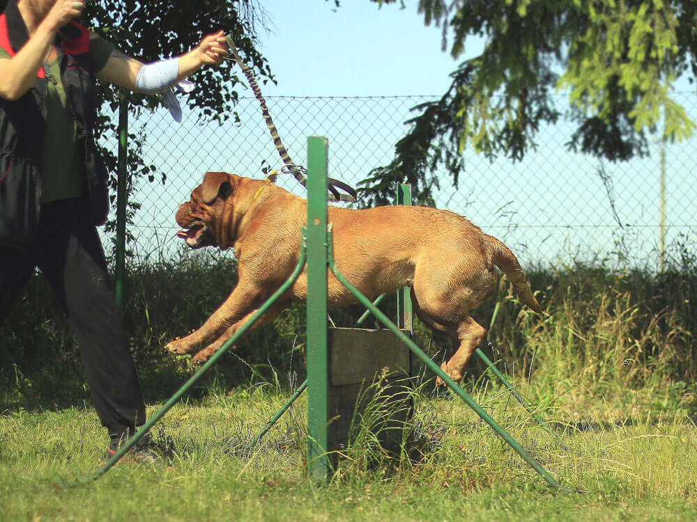 a dog handler trains the dog to jump on a barrier