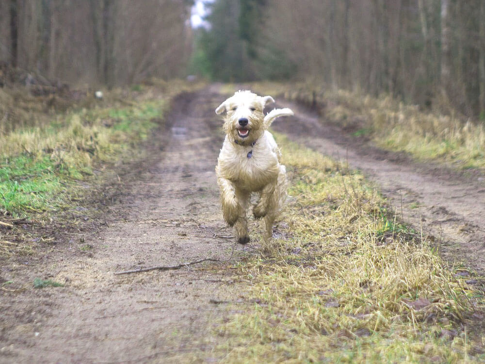 a dog runs to its owner after a whistle command