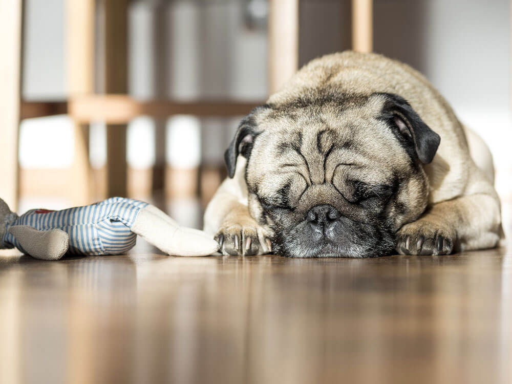 a pug sleeps soundly on the floor