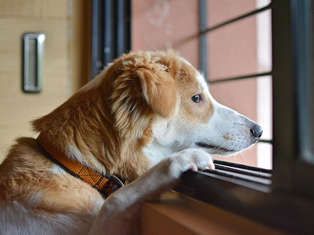 a dog patiently waiting for its owner at the window