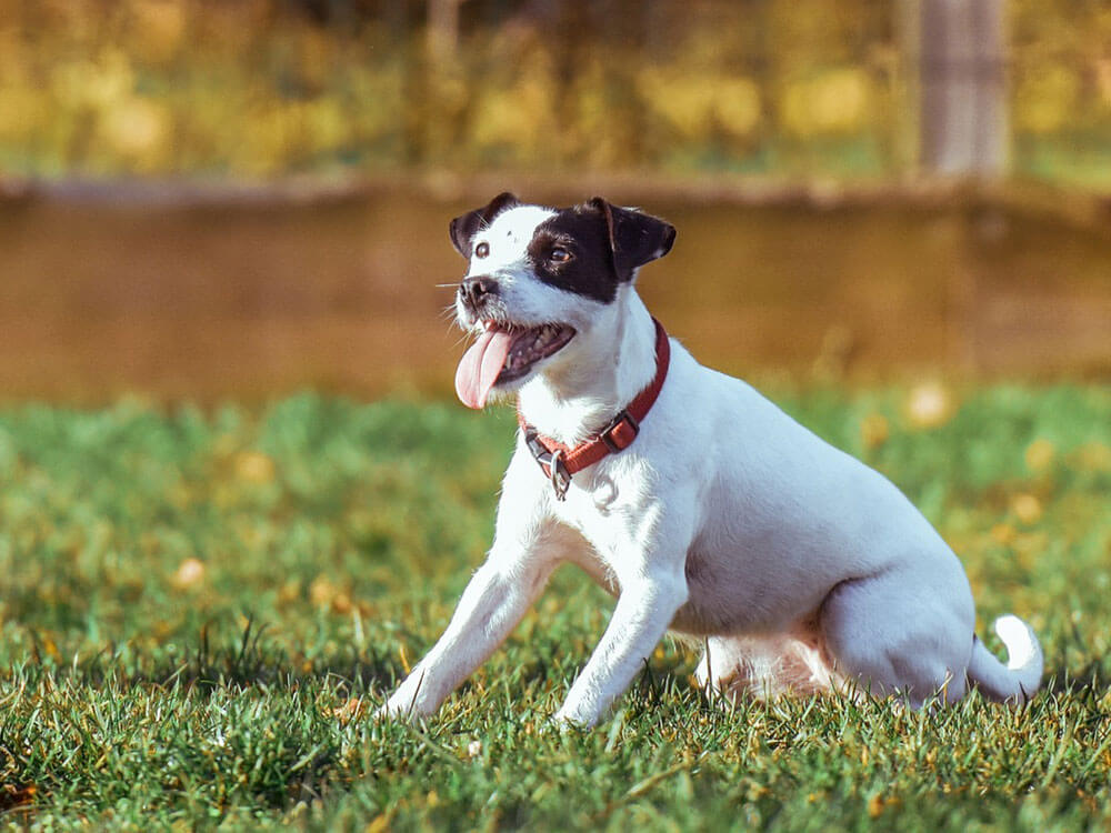 a dog sitting in a grass waiting for a whistle command