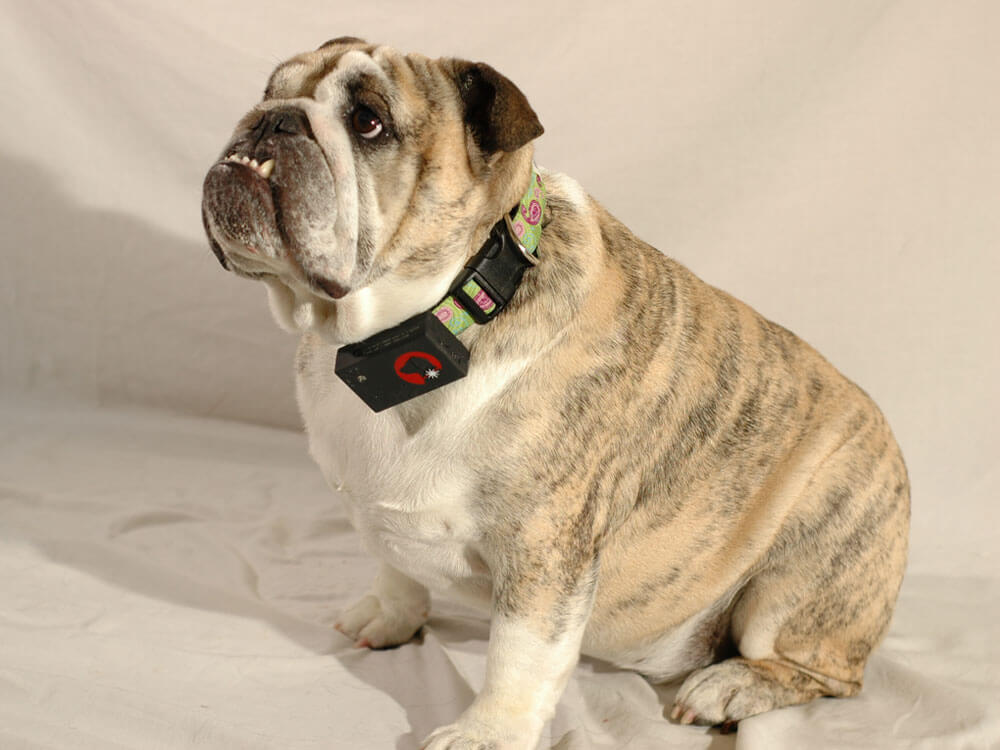dog wearing a pet tracking device