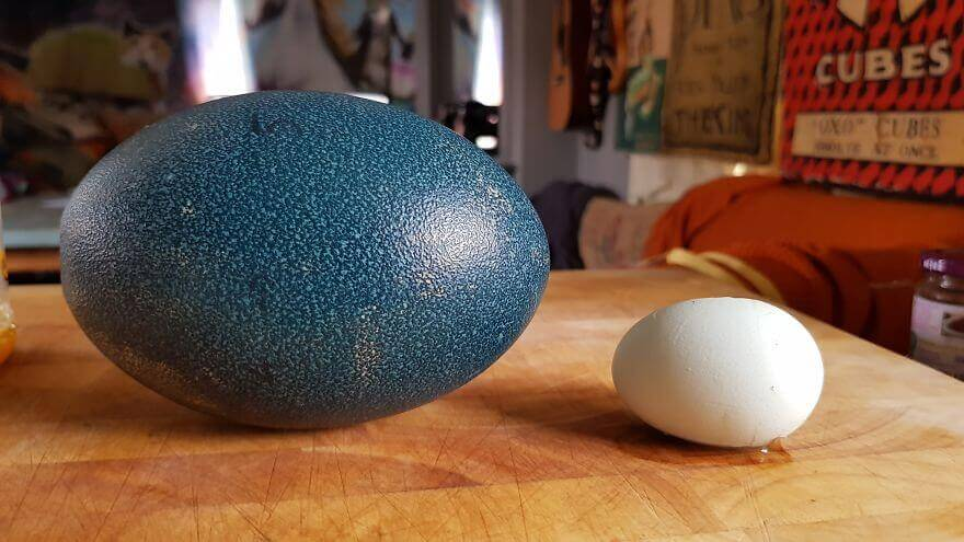 a 14 times volume of an emu egg versus a chicken egg