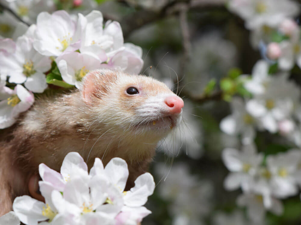 A ferret in a tree filled with flowers