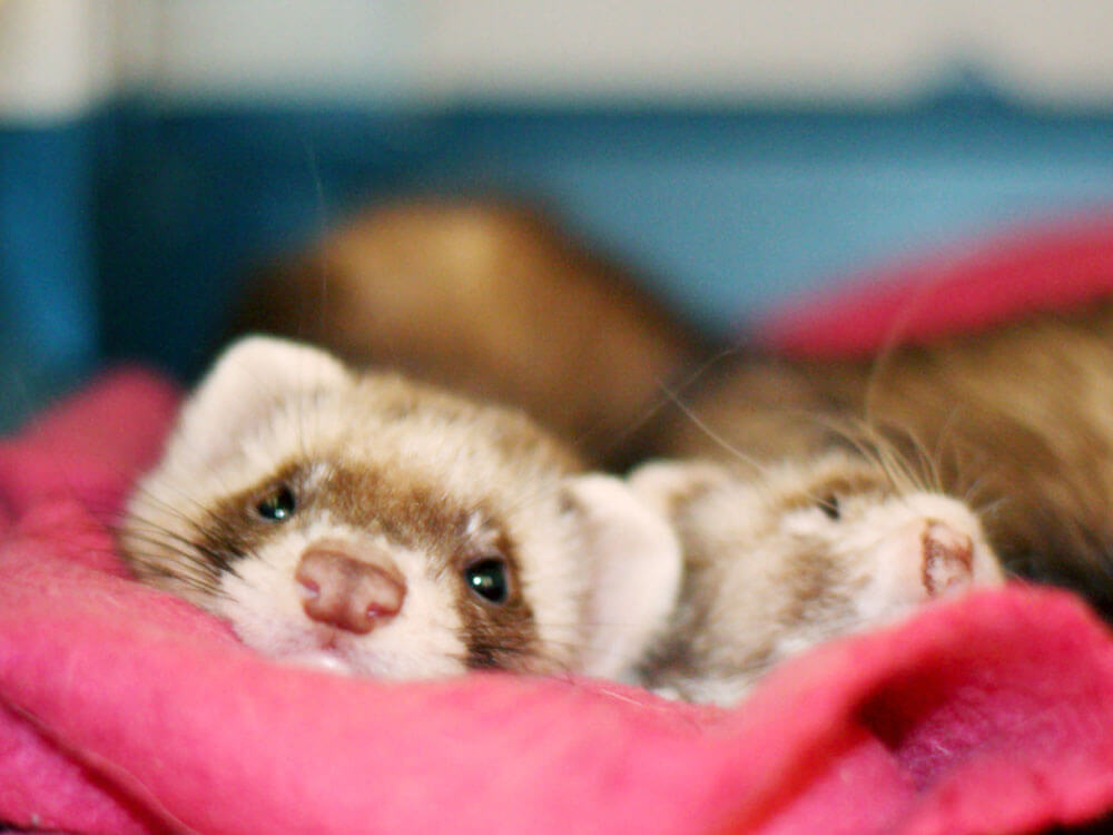 ferrets lying in their bed