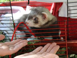 a person attempts to get the ferret from its house