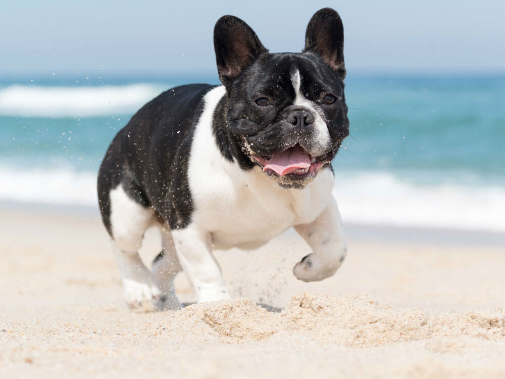 a French Bulldog running by the sea