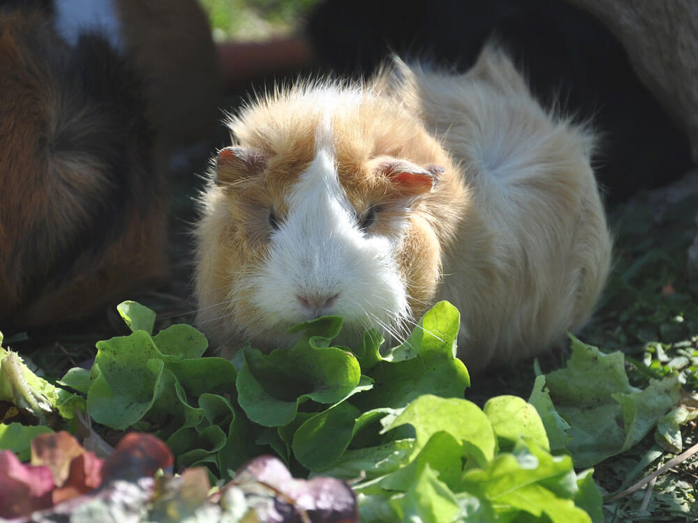 a guinea pig eating some vegetable plants