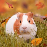 20 Amazing Facts about Guinea Pig