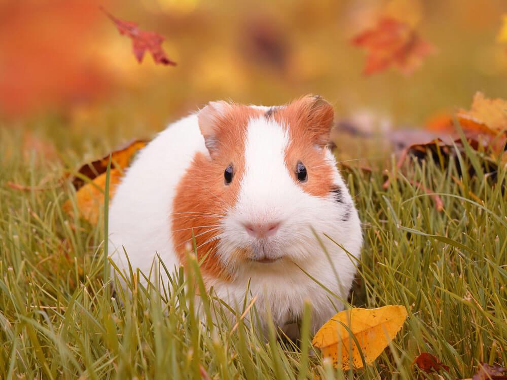 a guinea pig in a grass field
