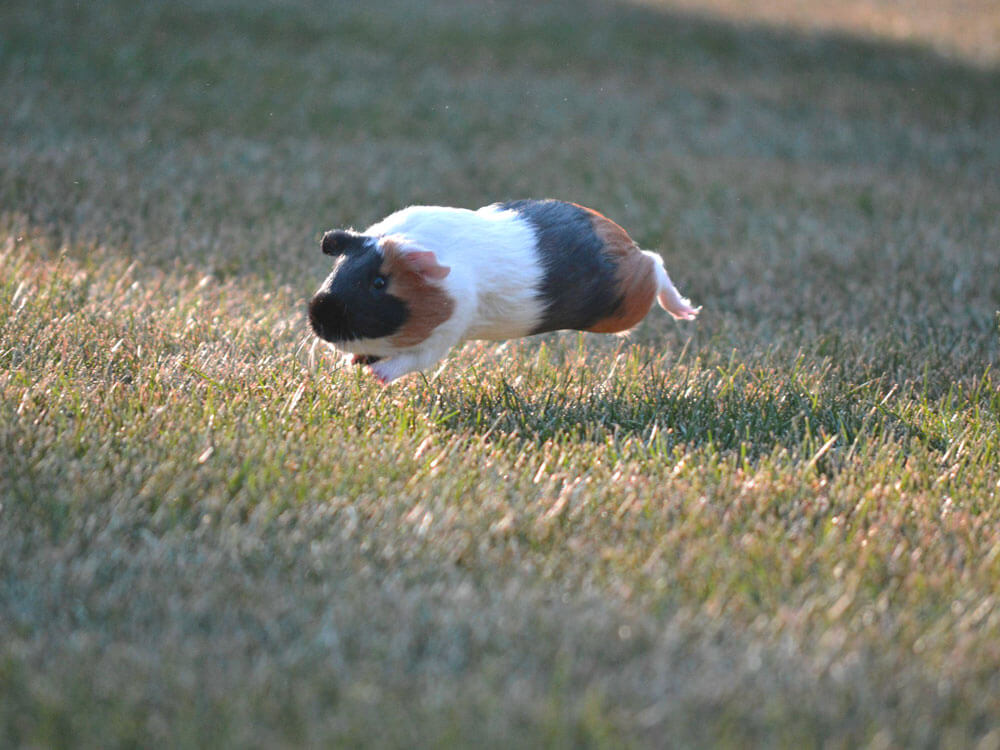 a guinea pig jumps to express its happiness