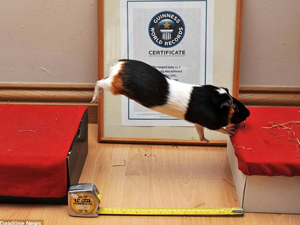 Truffles, a guinea pig enter the Guiness World Record for completing the longest jump