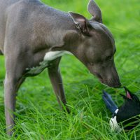 Unlikely Animal Friendships: Magpie and Whippet