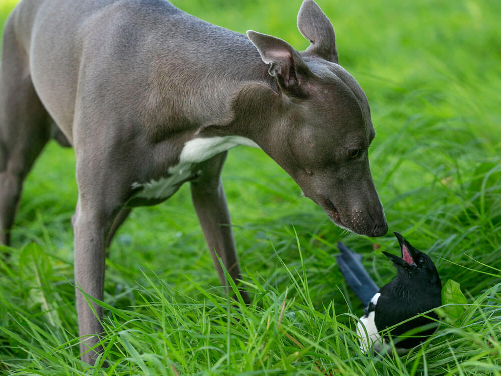 Magpie and Whippet playing in the grass
